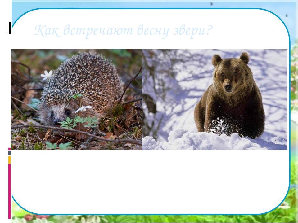 Как встречают весну звери? Просыпаются от зимнего сна медведи, барсуки, ежи....