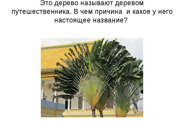 Это дерево называют деревом путешественника. В чем причина и какое у него нас...