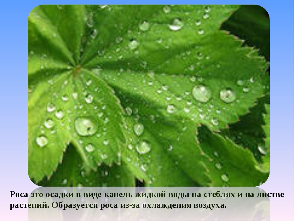 Роса это осадки в виде капель жидкой воды на стеблях и на листве растений. Об...