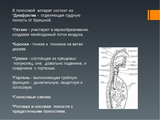 В голосовой аппарат состоит из: *Диафрагма - отделяющая грудную полость от б...
