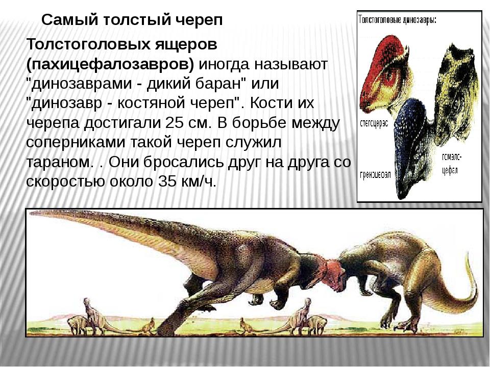 """Толстоголовых ящеров (пахицефалозавров) иногда называют """"динозаврами - дикий..."""