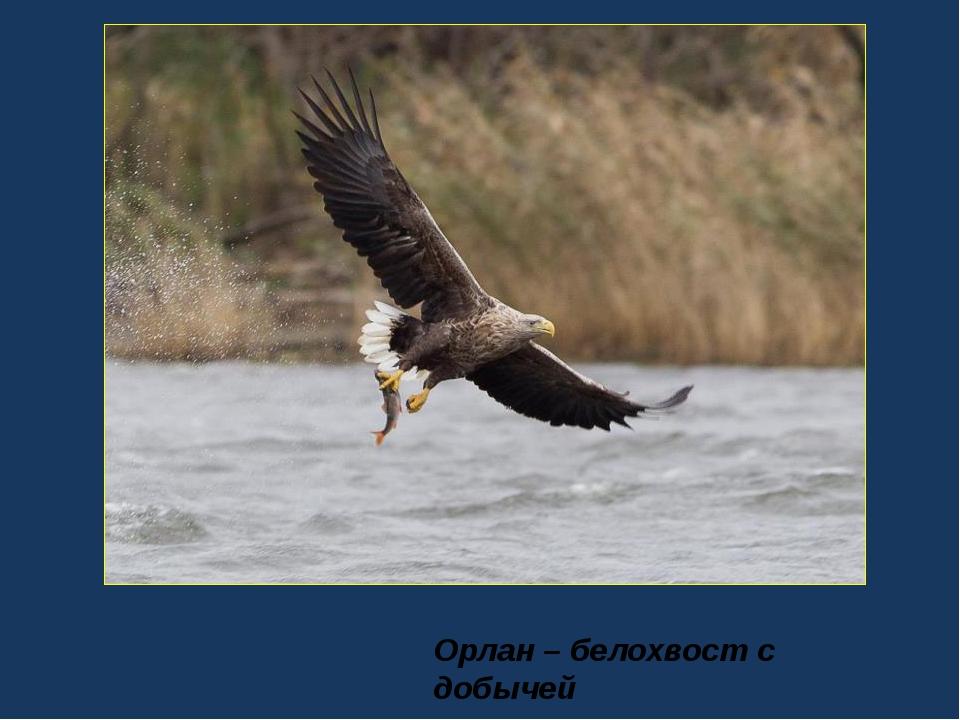 Орлан – белохвост с добычей
