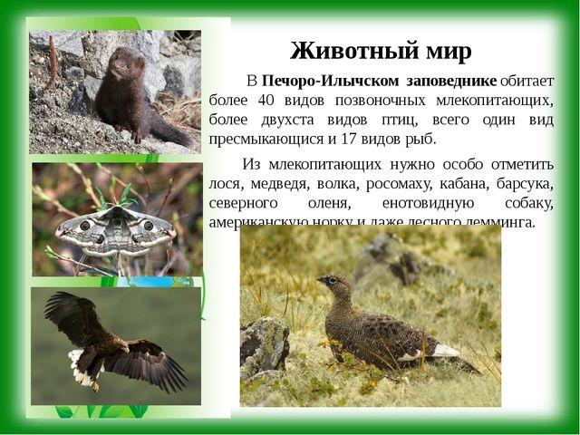 Животный мир ВПечоро-Илычском заповедникеобитает более 40 видов позвоночных...