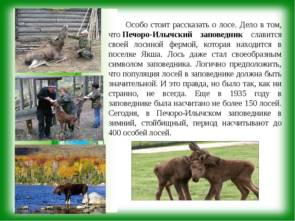 Особо стоит рассказать о лосе. Дело в том, чтоПечоро-Илычский заповедник сл...
