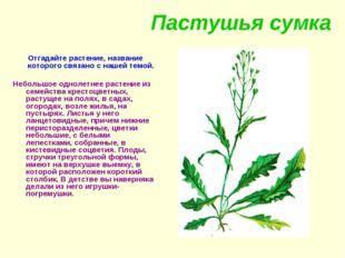 Пастушья сумка Отгадайте растение, название которого связано с нашей темой. Н