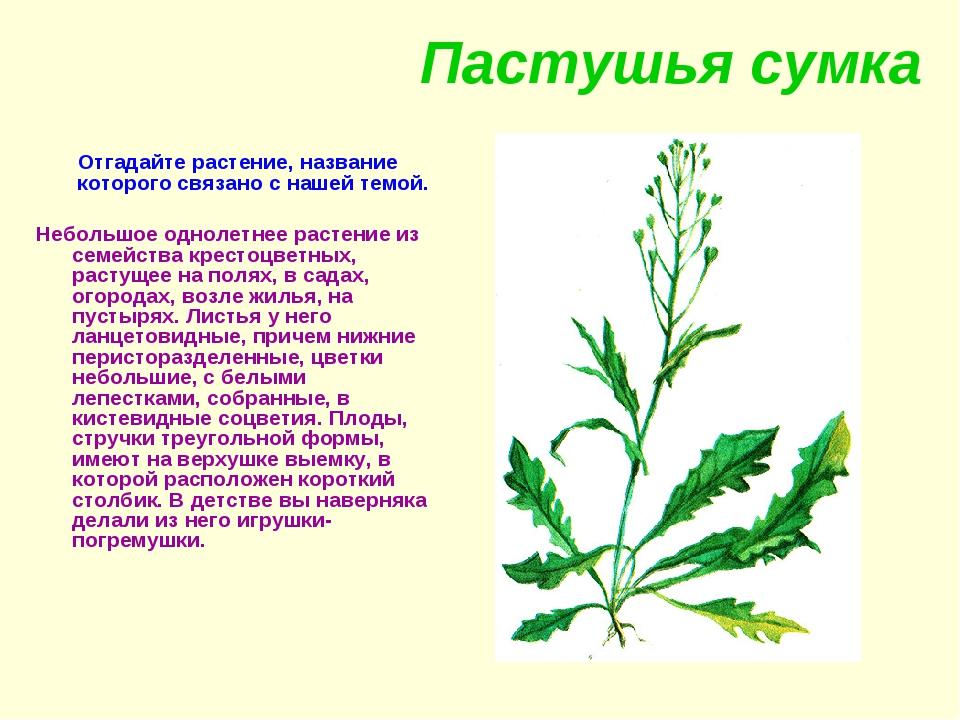 Пастушья сумка Отгадайте растение, название которого связано с нашей темой. Н...