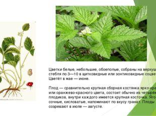 Цветки белые, небольшие, обоеполые, собраны на верхушке стебля по 3—10 в щит