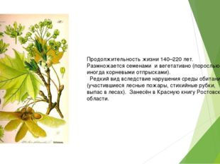 Продолжительность жизни 140–220 лет. Размножается семенами и вегетативно (пор