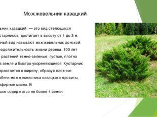 Можжевельник казацкий Можжевельник казацкий — это вид стелющихся хвойных куст