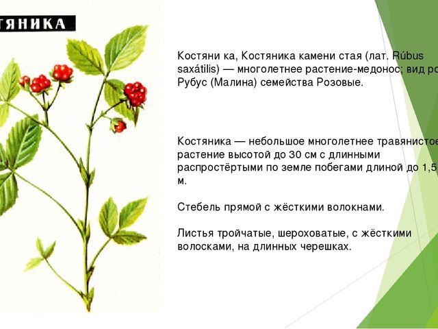 Костяни́ка, Костяника камени́стая (лат. Rúbus saxátilis) — многолетнее растен...