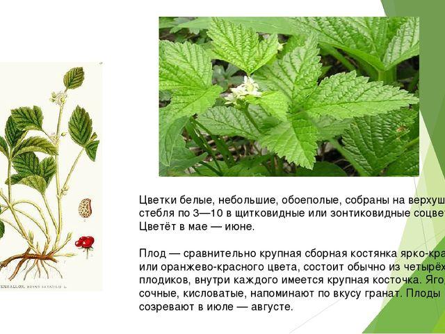 Цветки белые, небольшие, обоеполые, собраны на верхушке стебля по 3—10 в щит...