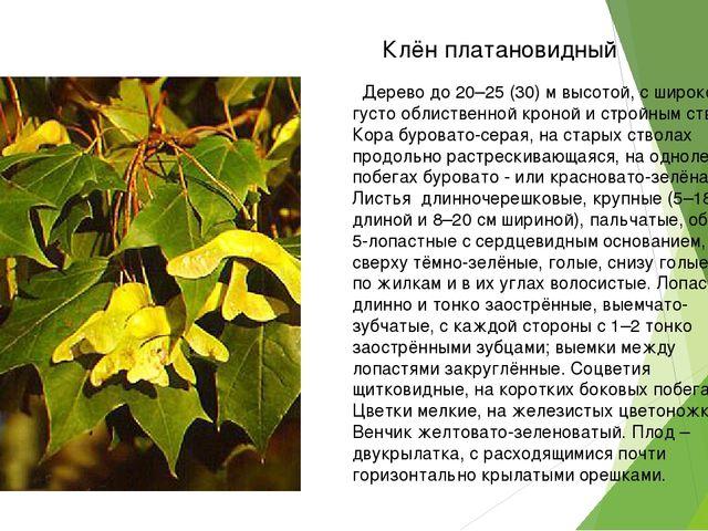 Дерево до 20–25 (30) м высотой, с широкой густо облиственной кроной и стройн...