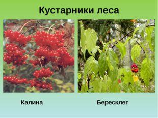 Бересклет Калина Кустарники леса