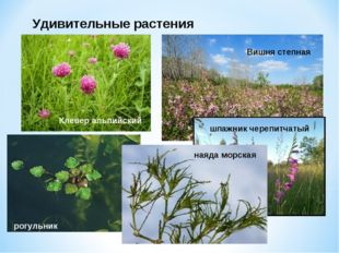 Удивительные растения Клевер альпийский Вишня степная шпажник черепитчатый ро