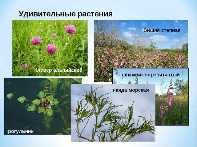 Удивительные растения Клевер альпийский Вишня степная шпажник черепитчатый ро...