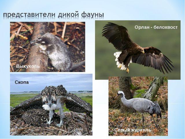 Выхухоль Орлан - белохвост Скопа Серый журавль