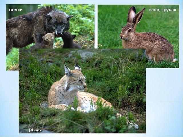 волки заяц - русак рысь
