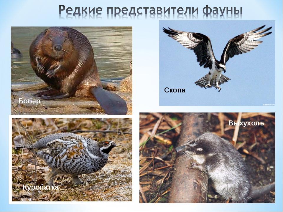 Бобер Выхухоль Скопа Куропатка