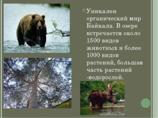 Уникален органический мир Байкала. В озере встречается около 1500 видов живот