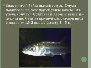 Знаменитый байкальский омуль. Омуля ловят больше, чем другой рыбы (около 70%