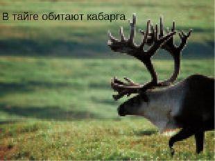 В тайге обитают кабарга.