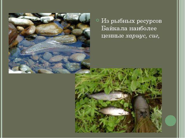 Из рыбных ресурсов Байкала наиболее ценные хариус, сиг,
