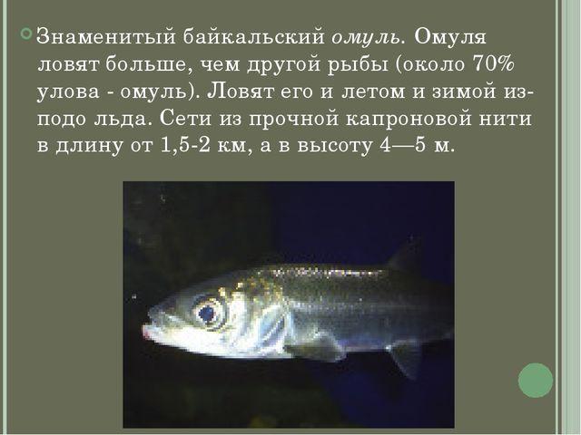Знаменитый байкальский омуль. Омуля ловят больше, чем другой рыбы (около 70%...