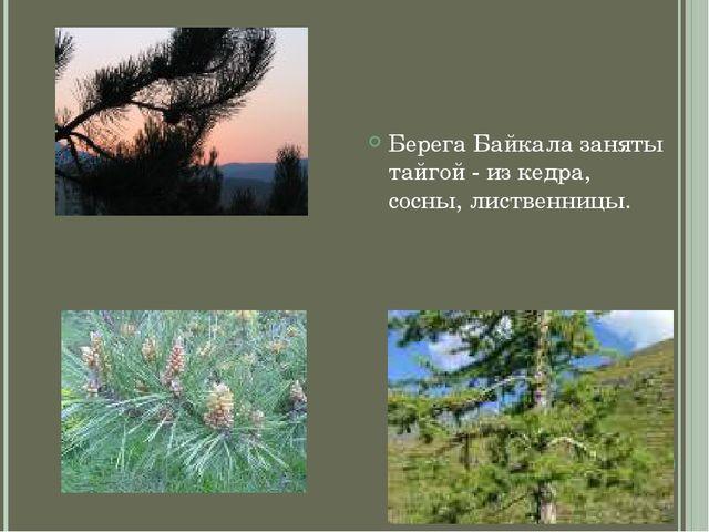 Берега Байкала заняты тайгой - из кедра, сосны, лиственницы.