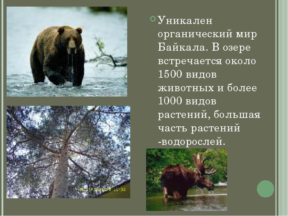 Уникален органический мир Байкала. В озере встречается около 1500 видов живот...