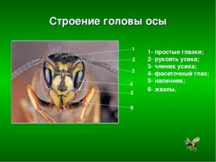 Строение головы осы 1- простые глазки; 2- рукоять усика; 3- членик усика; 4-