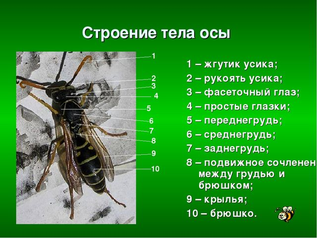 Строение тела осы 1 – жгутик усика; 2 – рукоять усика; 3 – фасеточный глаз; 4...