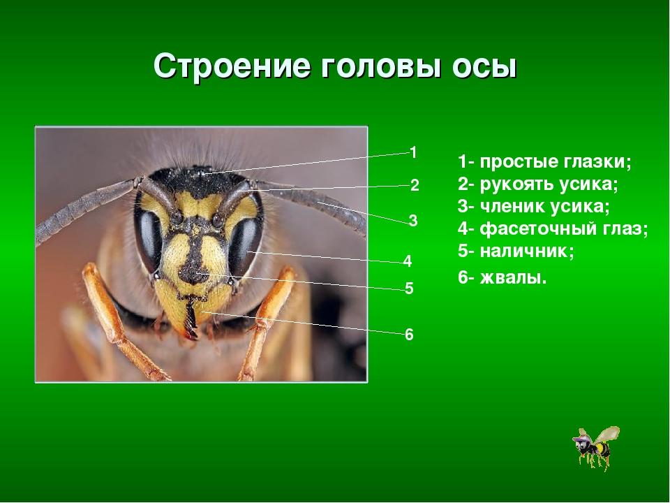 Строение головы осы 1- простые глазки; 2- рукоять усика; 3- членик усика; 4-...