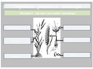 Назовите органы растения пшеницы Строение растения пшеницы ……. корень ….. ст