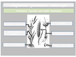 Назовите органы растения пшеницы Строение растения пшеницы цветок корень моч