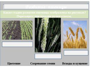 Какие стадии развития пшеницы изображены на рисунках? Перетащите при помощи