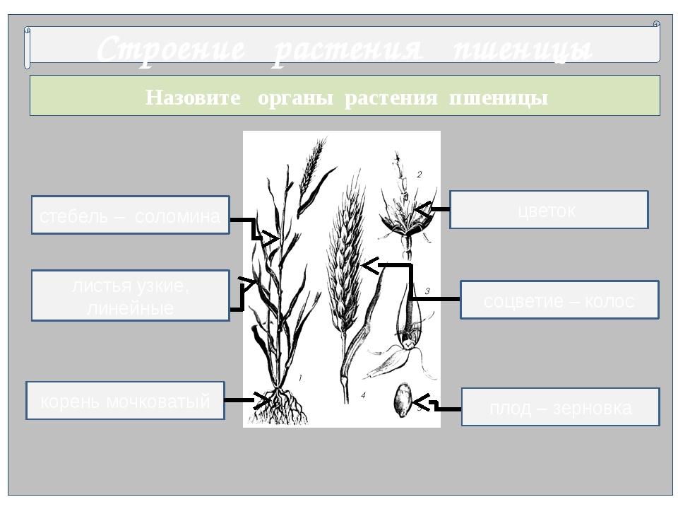 Назовите органы растения пшеницы Строение растения пшеницы цветок корень моч...