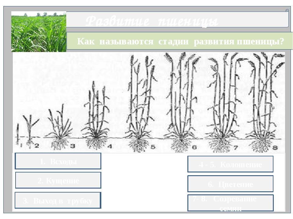 Как называются стадии развития пшеницы? Развитие пшеницы 1. всх.ды 2. к.щени...