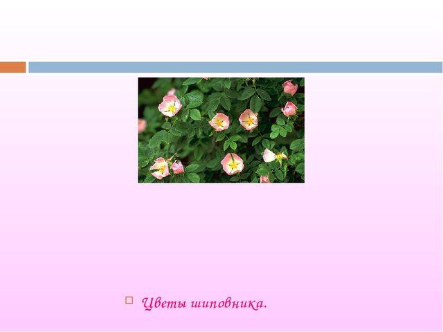 Цветы шиповника.