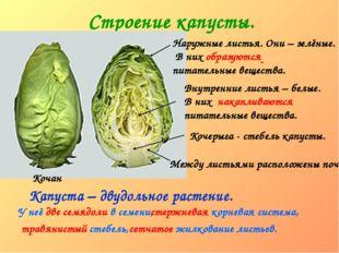 Строение капусты. Кочан Наружные листья. Они – зелёные. В них образуются пита