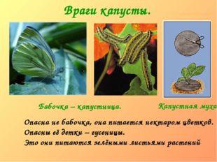 Враги капусты. Опасна не бабочка, она питается нектаром цветков. Опасны её де