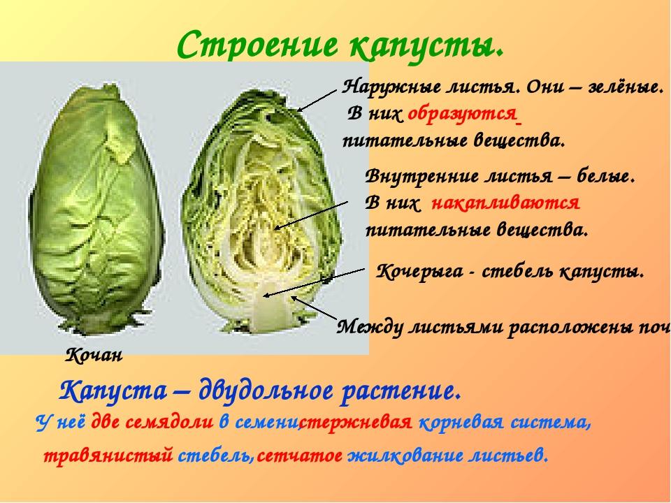 Строение капусты. Кочан Наружные листья. Они – зелёные. В них образуются пита...