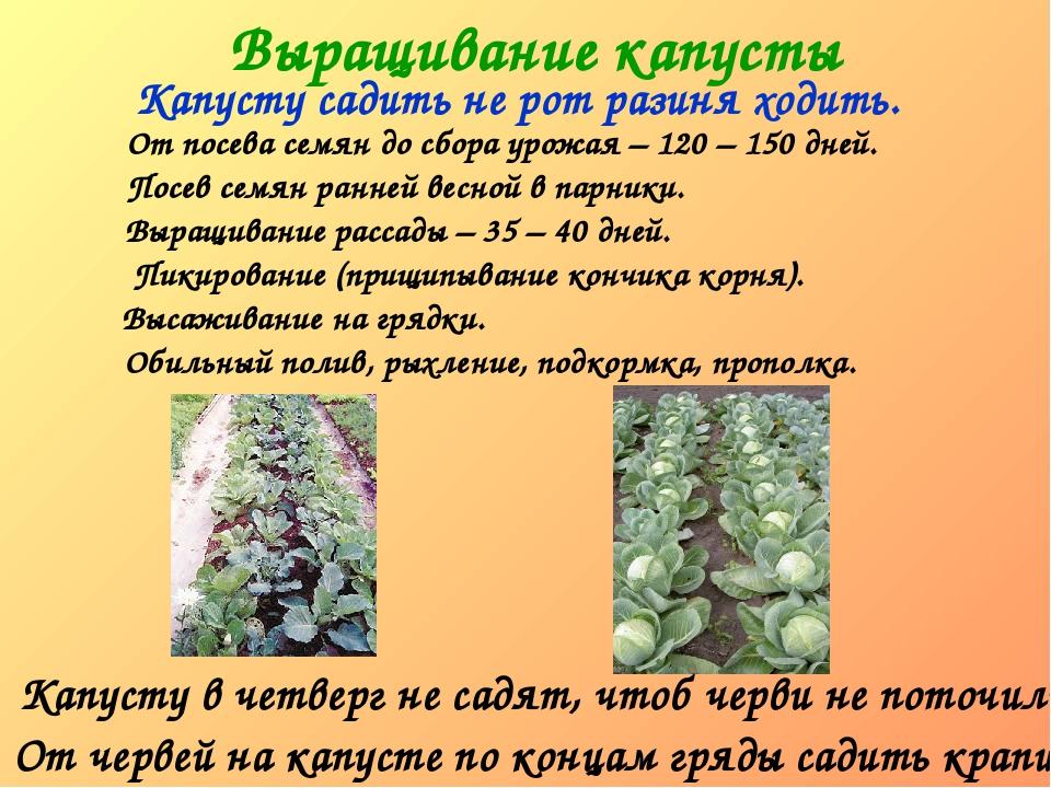 Выращивание капусты Капусту садить не рот разиня ходить. Капусту в четверг не...