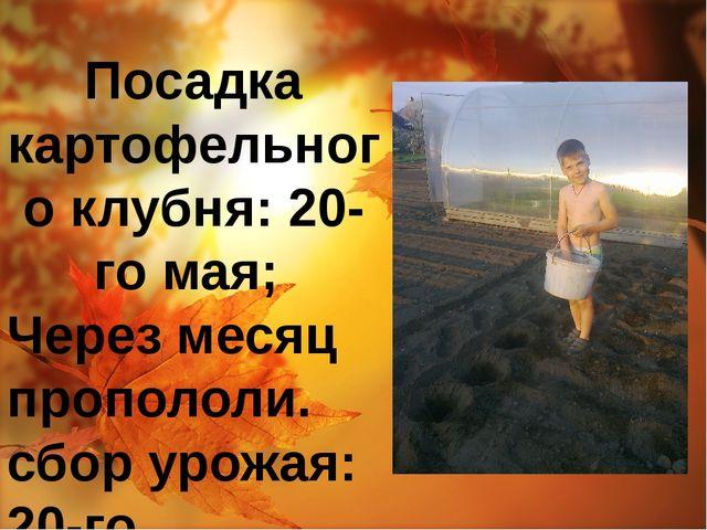 Посадка картофельного клубня: 20-го мая; Через месяц пропололи. сбор урожая:...