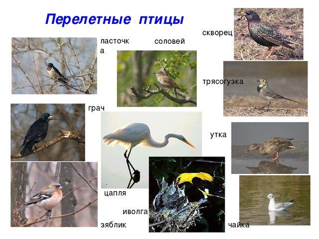 Перелетные птицы ласточка соловей скворец трясогузка грач зяблик утка чайка и...