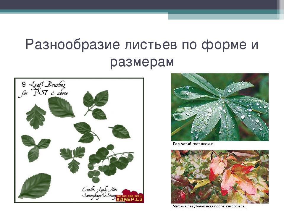 Разнообразие листьев по форме и размерам