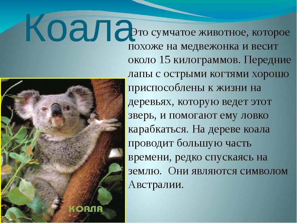 коала картинка с описанием езды