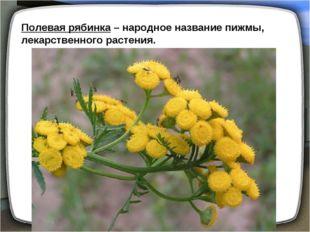 Полевая рябинка – народное название пижмы, лекарственного растения.