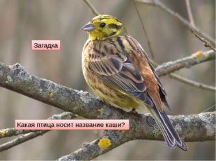 Какая птица носит название каши? Загадка
