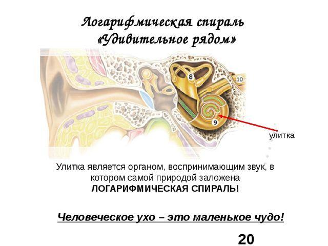 Логарифмическая спираль «Удивительное рядом» улитка Человеческое ухо – это ма...