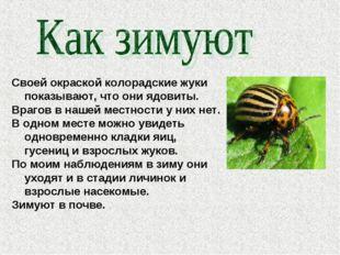 Своей окраской колорадские жуки показывают, что они ядовиты. Врагов в нашей м